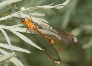 beneficial insect Lacewing