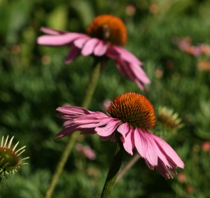 echinacea herbal garden medicine