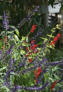autumn_salvias