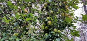 wild apple forage