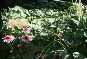sweet_potatoes_echinacea